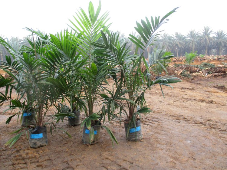 Potential Income Sources for Oil Palm Farmers During Replanting Seasons