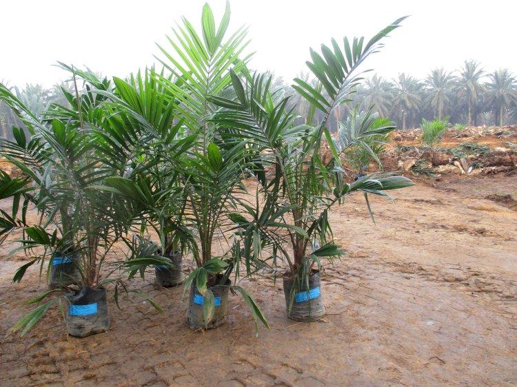 Potensi Sumber Pendapatan Petani Selama Replanting Sawit