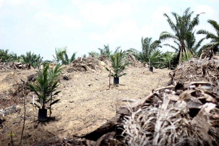 Mukomuko Tuntaskan Replanting Sawit di Lahan 562 Ha