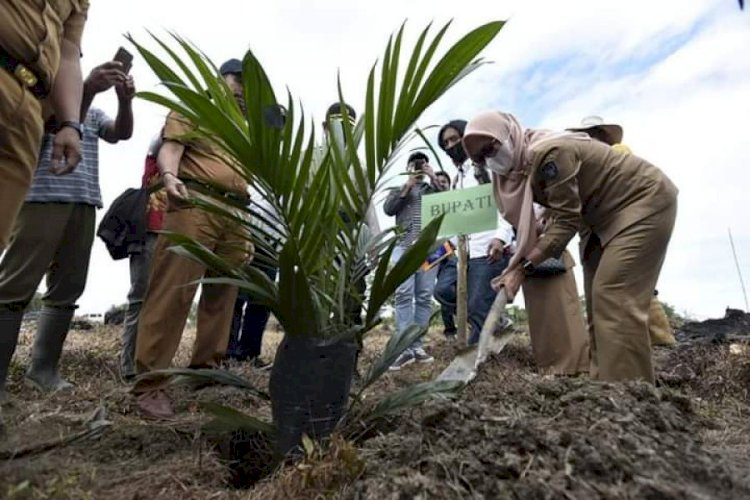 Farmers in Luwu Utara Replants Oil Palm Trees to Boost Productivity