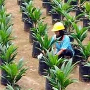 Petani Sawit di OKU Sumsel Dambakan Replanting
