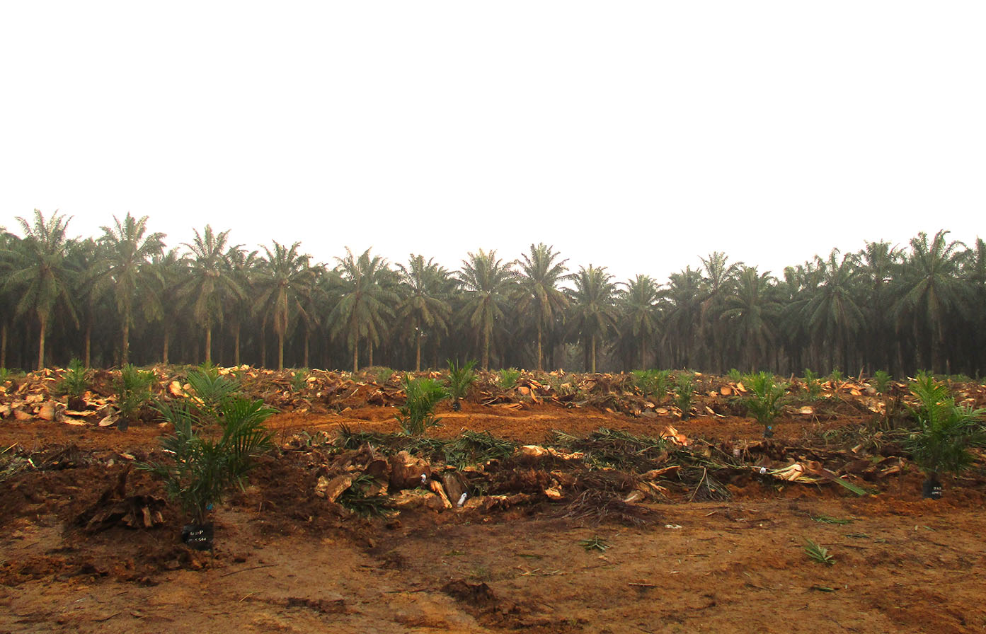 Petani Sawit Riau Ajukan Replanting untuk Lahan 1.500 Ha