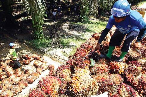 Regional Palm Oil Stockpiles Seen Rising