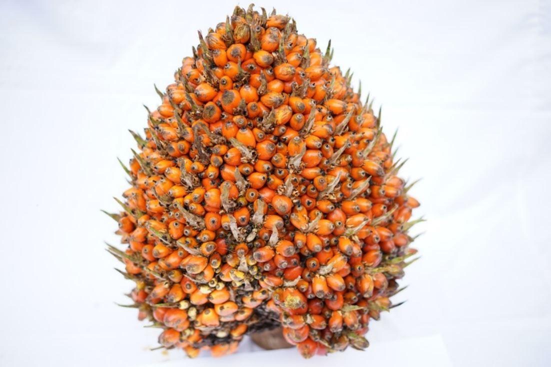 PPKS Kembangkan Elaeis oleifera untuk Perbaikan Kualitas Minyak Kelapa Sawit