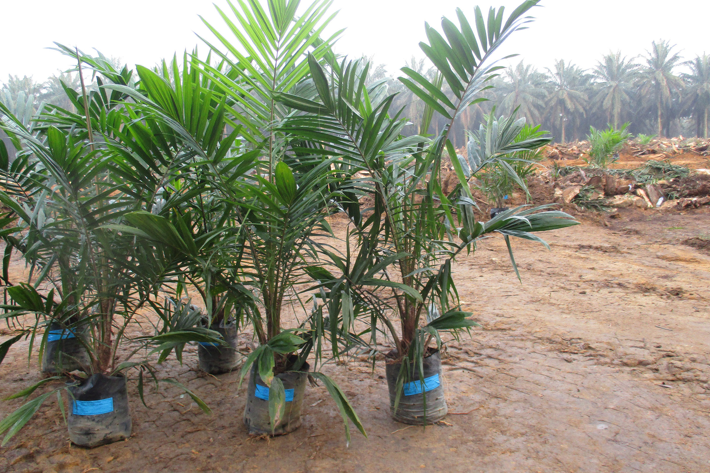 Govt Makes Procedures Easier to Replant Oil Palm